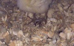 Sixth grade awaits hatching of duck eggs