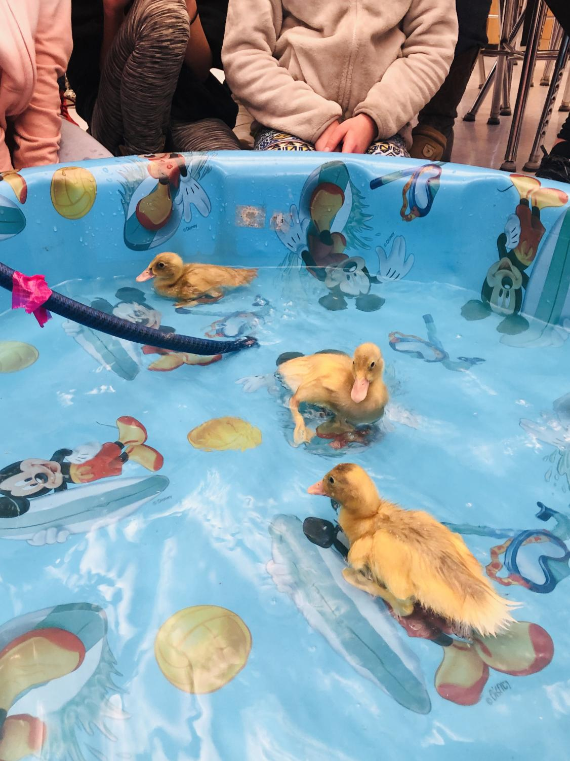 Ducklings swim around the baby pool in Ms. Moore's room.